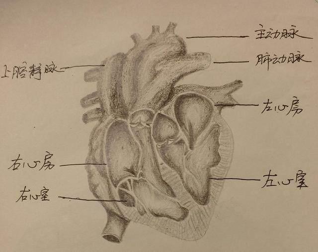 手绘心脏解剖图,清晰展示医学奥秘